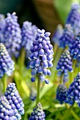Grape hyacinth (Muscari armeniacum)