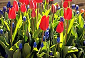 Tulipa and Muscari