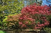 Acer palmatum 'Ashurst Wood'