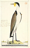 Vanellus miles,masked lapwing