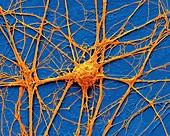 Neurone,SEM