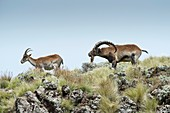 Male Wahlia Ibex checking a females odour