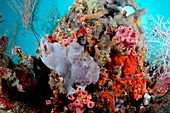 Juvenile giant frogfish on reef