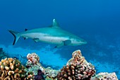 A grey reef shark swimming over a reef