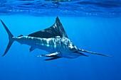 Indo-Pacific sailfish