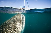 Whale shark and yacht