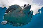 Marine turtle and fish