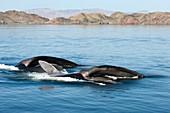 Fin whales feeding