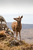 Red Deer,Cuillin Ridge,UK