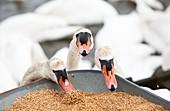 Wild Mute Swans pinching grain