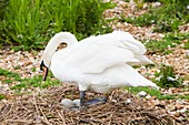 Mute Swan,Cygnus olor nesting