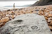 Ammonite fossils on Charmouth beach