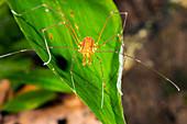 Tropical harvestman on a leaf