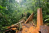 Planks cut from rainforest tree,Ecuador