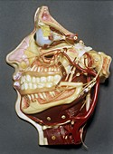 Wax model of face,20th century
