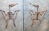 Pterodactylus antiquus