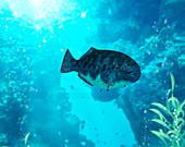 Dapedium prehistoric fish,illustration