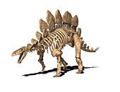 Stegosaurus skeleton,illustration