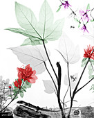 Lizard and flowers,X-ray