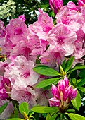 Rhododendron 'Pink Pearl' flowers