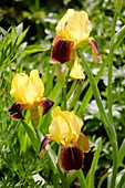 Iris germanica 'Rajah' flowers