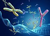 X and Y chromosomes,illustration