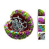 Influenza virus structure,illustration