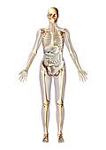 Human anatomy,illustration