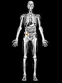 Human appendix,illustration