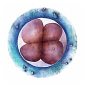 Fertilised egg dividing,illustration