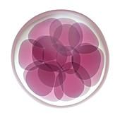 Fertilised egg cell dividing
