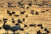 Whooper Swans at Martin Mere