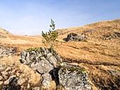 Holly Tree growing in a split rock