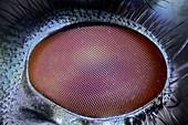Blowfly eye,light micrograph
