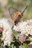 Butterfly feeding on protea flower