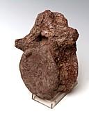 Prosauropod vertebra fossil
