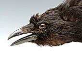 Head of a stuffed carrion crow