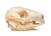 Rock wallaby skull