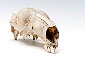 Kangaroo skull