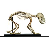 Infant bear skeleton