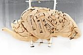 Labelled dog's brain,specimen