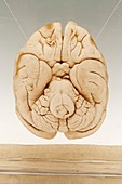 Macaque brain,specimen