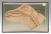 Calf head,specimen