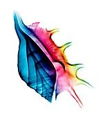 Seashell,X-ray