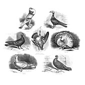 Darwin on pigeon evolution,illustration