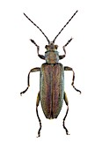 Reed beetle