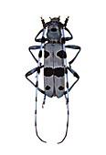 Rosalia longicorn beetle