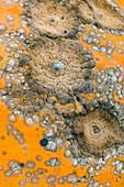 Pumpkin black rot,Didymella bryoniae