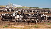 Intensive cattle farm