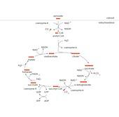 Krebs metabolic cycle